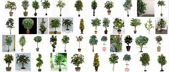 Jujube  World Crops Database  Tropical FruitsFruit Tree Shapes