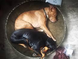 pitbull dog vs doberman. Modren Doberman Doberman Pitbull Cuddle Puddle  To Pitbull Dog Vs