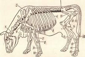 Строение скелета убойных животных Реферат страница  Скелет убойного животного состоит из костей головы костей туловища и костей конечностей рис 1