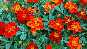 dwarf french marigolds attract beneficial insects