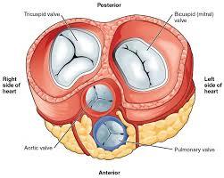 Cardiac Anatomy Chart Heart Anatomy Anatomy And Physiology