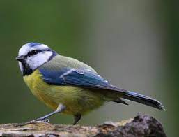 Peckers Wild Bird - HJ Lea Oakes