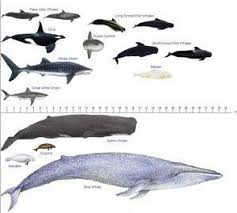 Blue Whale Size Chart Image Result For Toothed Whale Size Chart Whale Species