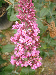 johnston s pink delight buddleia