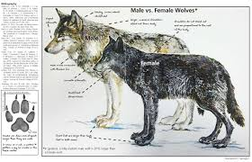 ys 24 1 yellowstone wolf facts yellowstone national park u s national park service