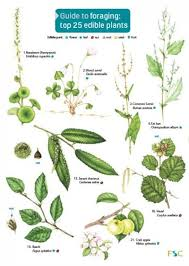 Herb Plant Identification Chart Guide To Foraging Top 25 Edible Plants Identification