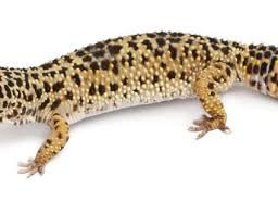 Leopard Gecko Morph Chart The Different Colors Of Leopard Geckos