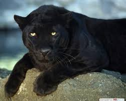 чёрная пантера размеры пантера самое грациозное животное