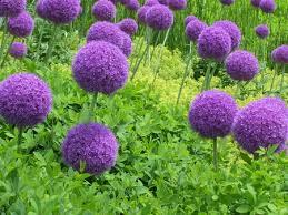 lollipop during flowering