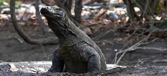 Population Komodo Dragon Www Imghulk Com