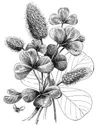 Vintage Graphic Black And White Botanical Clover The Graphics
