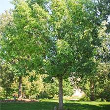 Oak Tree Growth Rate Chart White Oak Tree On The Tree Guide At Arborday Org