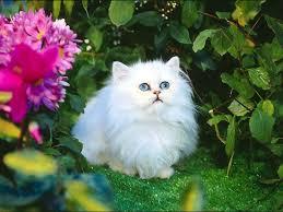 beautiful white cats wallpaper. Perfect Wallpaper White Cat Wallpapers Wallpaper  For Desktop Pinterest  On Beautiful Cats L