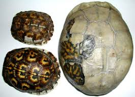 box turtle size faqs box turtle squirt i turtle