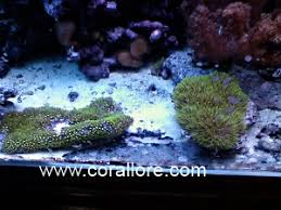 green star polyp lighting requirements. gsp green star polyp lighting requirements r