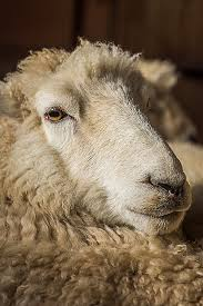 sheep sheets understanding wool processing shearing