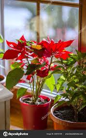 Blühender Weihnachtsstern Weihnachtsstern Schöne Rote Blume