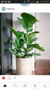 FIDDLE LEAF FIG Want a big-impact apartment plant with minimal-impact on  your time expenditure to keep it thriving? Look no further than the fiddle  leaf fig ...