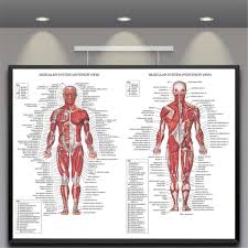 Anatomy Chart Muscular System Details About Human Body Muscle Anatomy System Poster Anatomical Chart Educational Poster