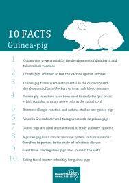 Guinea Pig Understanding Animal Research Understanding