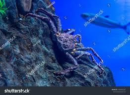 King Crab Blue Deep Sea Underwater ...