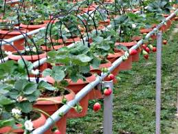 how to build a hydroponic garden. hydroponic tomato plants in a commercial market garden how to build e