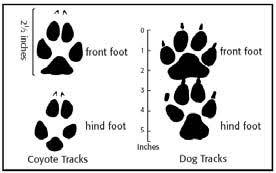 How To Identify Coyote Tracks Wildlife Land Trust