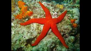sea star most sea stars have five arms although some can grow as many as 50 arms