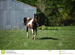 paint horses running in a field.  Paint Brown And White Paint Horse Running In An Open Field On Paint Horses Running In A Field R