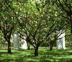 Lemon Tree Lifespan What Is The Average Lifespan Of Lemon