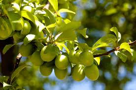Home Orchard Fruit Trees Not Bearing FruitPlum Tree Not Producing Fruit