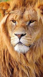 Wallpaper Lion, Face, Big Cat ...