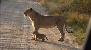 video adorable lion cub with its mom