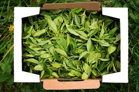 fresh tea leaves. Interesting Fresh Fresh Picked Tea Leaves Are Withered In A Shady Place For Between 2 And 16  Hours Depending On Style Of Desired The Will Soften  For Tea Leaves R