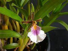 Aspasia (plant) - Wikipedia | orchidee