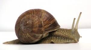 Image result for γυμνοσάλιαγκες ή σαλιγκάρια