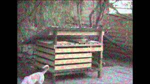 Canaan dog Matey gets stuck - YouTube