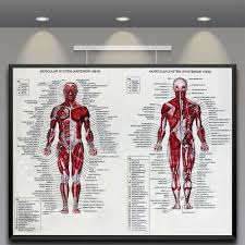 Human Body Muscle Anatomy System Poster Anatomical Chart Educational Poster Ebay