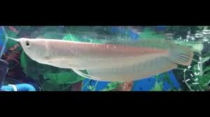 Silver Arowana Amazing Growth In Just Two Weeks From 5 Inches To More Than 7 5 Inches