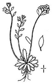 Plants Profile for Draba fladnizensis (Austrian draba)