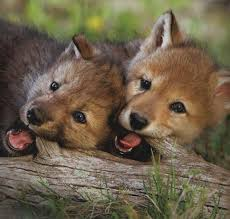 two wolf cubs chewing on a piece of wood