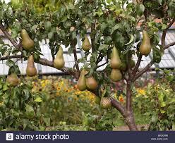 Pear Tree Bearing Fruit Stock Photo Royalty Free Image 31426520 Tree Bearing Fruit