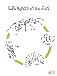 Small Picture Life Cycle of an Ant coloring page Free Printable Coloring Pages
