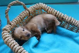 akc miniature dachshund puppies for