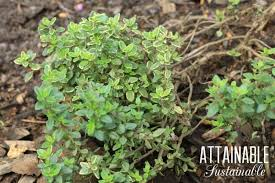 wondering which herbs to grow in your garden this list will give you some ideas