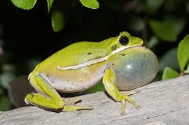 image of a frog. Fine Frog Green Treefrog Intended Image Of A Frog