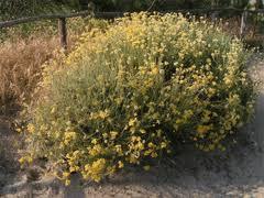 Helichrysum italicum Curry Plant PFAF Plant Database