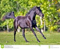 black arabian horse running. Perfect Running Download Beautiful Black Arabian Horse Running Stock Image  Of  Running Photography 94061625 Intended
