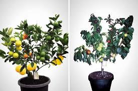 457 Best Bonsai Fruit U0026 Images On Pinterest  Bonsai Fruit And Hybrid Fruit Trees For Sale