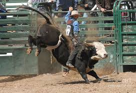 rodeo bulls animals. Beautiful Bulls Rodeo Photograph  Bucking Bulls 101 By Cheryl Poland And Animals L